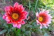dvě růžové gazánie