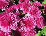 foto..chryzantémy