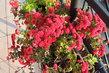 keřík drobných listopadek v balkonovém závěsu
