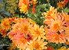 foto...chryzantémy