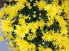 žluté listopádky z trhu