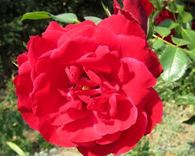 FOTKA - růže červená v září
