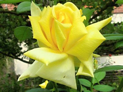 FOTKA - žlutá podzimní růže