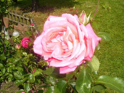 FOTKA - růže stolistá