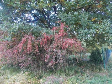 FOTKA - červené bobulky už usychají