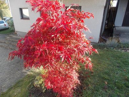 FOTKA - červený javor se krásně vybarvil