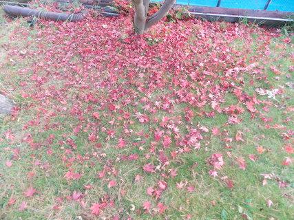 FOTKA - Koberec z listí javoru