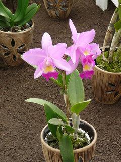FOTKA - Růžová orchidej