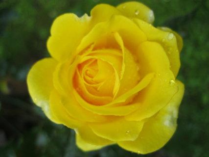 FOTKA - Nádherná růžička