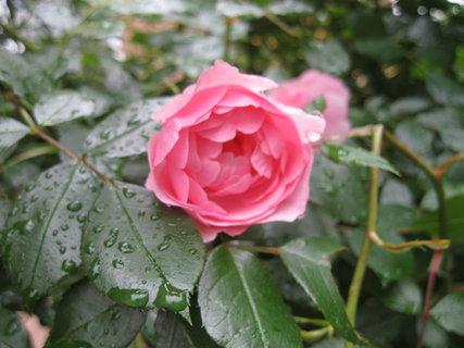 FOTKA - růžová nemá ráda déšť :D
