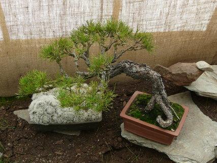 FOTKA - další bonsaj z borovice