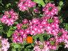 Růžová verbena