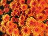 oranž. květy chryzantém