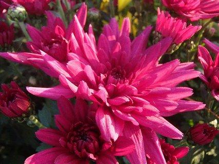 FOTKA - tmavoružová chryzantéma