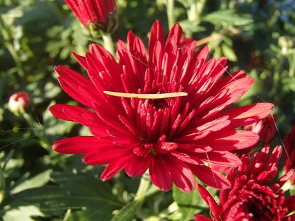 FOTKA - prichytené babie leto na chryzantéme