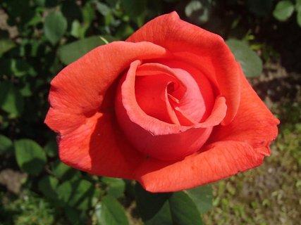 FOTKA - ešte kvitne ruža