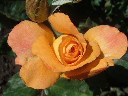 FOTKA - oranžová ruža