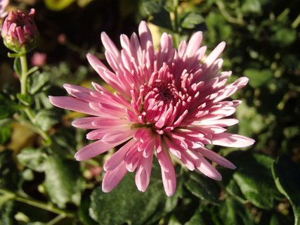 FOTKA - ružová chryzantéma sa rozvíja