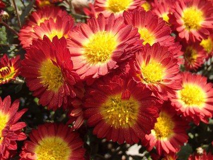 FOTKA - chryzantéma s malými kvietkami