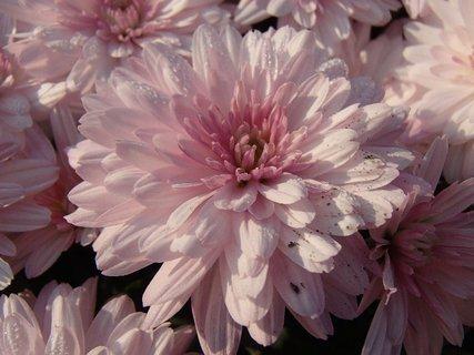 FOTKA - bledučkoružová chryzantéma