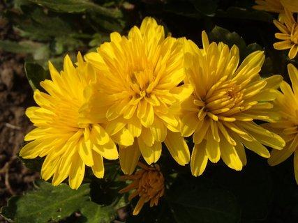FOTKA - trojica žltých