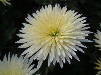 FOTKA - kvapky rosy na chryzant�me