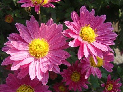 FOTKA - ružové so žltým stredom