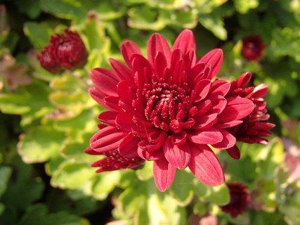 FOTKA - červený kvierok chryzantémy