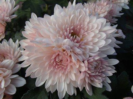 FOTKA - zhlúčik bledoružových chryzantém