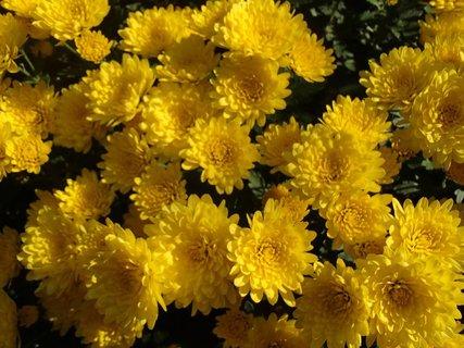 FOTKA - žltá záplava kvetov