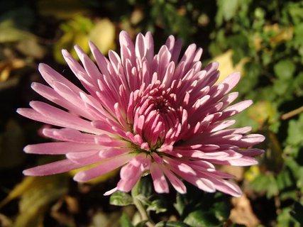 FOTKA - detail na kvietok chryzantémy