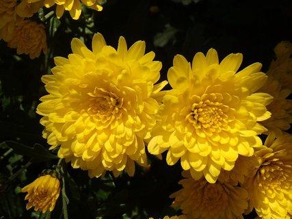 FOTKA - dve žlté v popredí