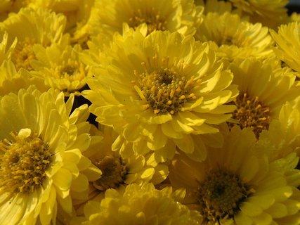 FOTKA - žltá chryzantéma s menšími kvetmi
