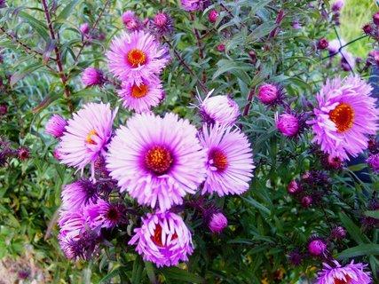 FOTKA - astřičky stále kvetou