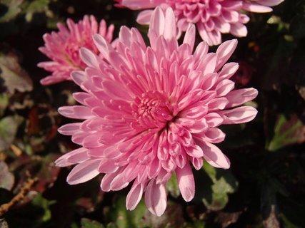 FOTKA - pekná ružová