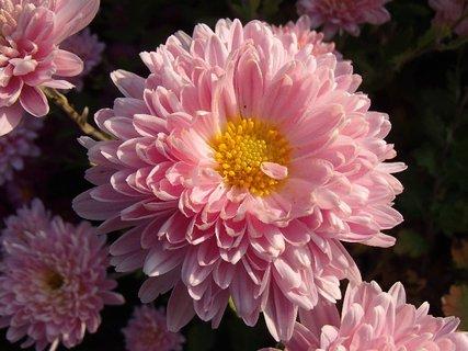 FOTKA - bledoružová chryzantéma
