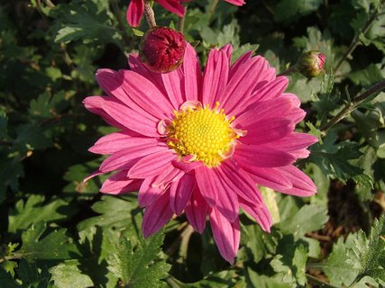 FOTKA - ružová aj s pukmi