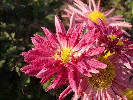 FOTKA - strapaté ružové