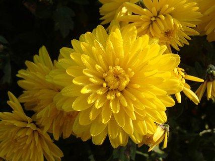 FOTKA - drobné kvapky rosy na žltej chryzantéme