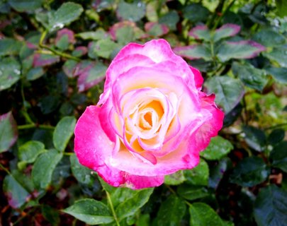 FOTKA - podzimní růžička