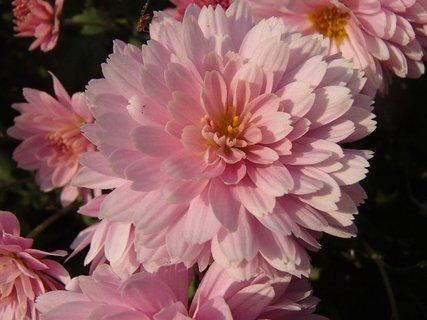 FOTKA - cukríková ružová