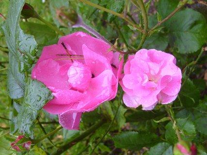 FOTKA - listopadové růžičky