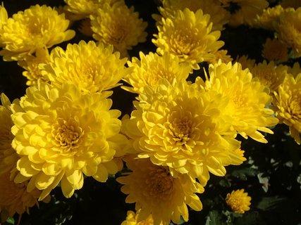 "FOTKA - žlté ""chryzantémovo"""