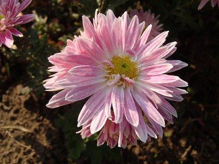FOTKA - jemne ružová s kvapkami rosy