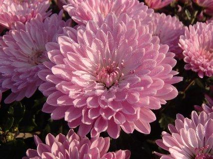 FOTKA - malé kvapky rosy sa držia na chryzantéme