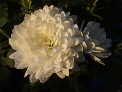 FOTKA - biela hustokvitnúca chryzantéma