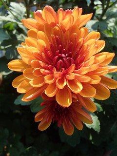 FOTKA - novembrová chryzantéma