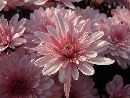 FOTKA - jemné ružové chryzantémy