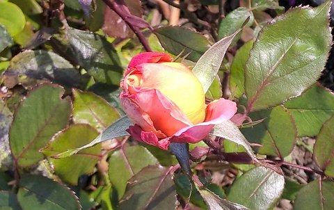 FOTKA - rozkvétající růže - listopad