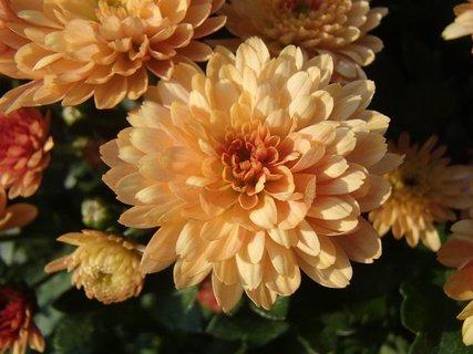 FOTKA - bledooranžová chryzantéma